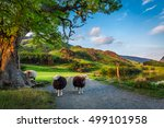 two curious sheeps on pasture... | Shutterstock . vector #499101958