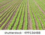 field of salad | Shutterstock . vector #499136488