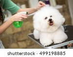 Stock photo cute hairstyle for bichon frise for professional 499198885