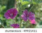 Purple Geranium Bloom  Attracts ...