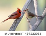 Northern Cardinals Perched On...