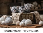 Stock photo group of small striped kittens in an old basket with balls of yarn 499242385