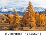 yellow larch on a background of ... | Shutterstock . vector #499266346