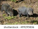 collared peccary  pecari tajacu  | Shutterstock . vector #499295836