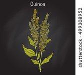 quinoa  chenopodium quinoa ... | Shutterstock .eps vector #499308952