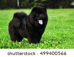 Fluffy Dog Breeds Chow Chow...