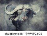Wild African Buffalo Bull In...
