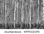 birch forest background  black... | Shutterstock . vector #499510195