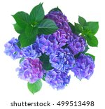 Blue And Violet Fresh Hortensia ...