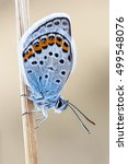 Northern Blue Butterfly  ...
