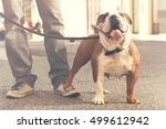 Stock photo happy bulldog walking with his owner in the city 499612942