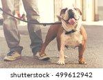 Happy Bulldog Walking With His...