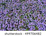 Small photo of Flowers Ageratum