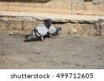 a pair of stock dove looking... | Shutterstock . vector #499712605