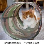 Stock photo  months old maine coon kitten playing 499856125