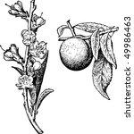 peach | Shutterstock .eps vector #49986463