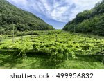 vineyard in trentino alto adige ... | Shutterstock . vector #499956832