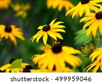 The Black Eyed Susan Is A...