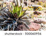 Small photo of Shaw's agave or Agave shawii plant native to San Diego and Baja California.