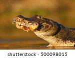 Yacare Caiman  Crocodile With...