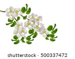 flowering branch of apple...   Shutterstock . vector #500337472