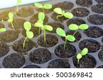 Growing Sunflower Sprouts In...