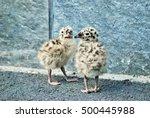 Seagull Babies