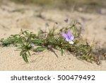 Viola Tricolor Ssp. Curtisii  ...