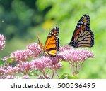 Monarch Butterflies In Garden...