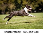 Running Boston Terrier  Running ...