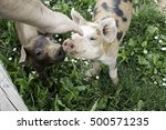 Stock photo person petting pig farm animals and nature 500571235