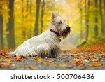 white scottish terrier  sitting ... | Shutterstock . vector #500706436