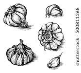 vector hand drawn set of garlic ... | Shutterstock .eps vector #500811268