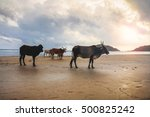 some sacred cattle striding at... | Shutterstock . vector #500825242