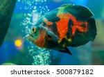 Bright Oscar Fish   Thailand...