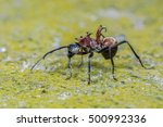 large spiny ant  beautiful ant... | Shutterstock . vector #500992336