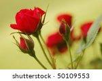 beautiful delicate roses   Shutterstock . vector #50109553
