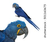 Beautiful Hyacinth Macaw...