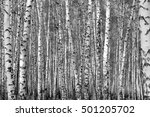 birch forest background  black... | Shutterstock . vector #501205702