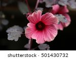 Small photo of Close up of Cranberry Hibiscus Flower- False Roselle - 'African Rosemallow, 'Hibiscus Acetosella'
