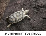 Small photo of African Pancake Tortoise, also called Malacochersus tornieri.