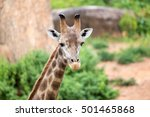 close up giraffe in the zoo. | Shutterstock . vector #501465868
