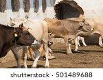 a cows near an old ...   Shutterstock . vector #501489688