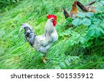 Rooster On A Farm On A Green...