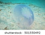 Small photo of Aequorea jellyfish hovering just right above sandy bottom.