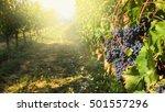 italian grape harvest for wine... | Shutterstock . vector #501557296