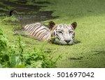 white bengal tiger half...   Shutterstock . vector #501697042
