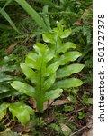broad leaf fern in new zealand... | Shutterstock . vector #501727378