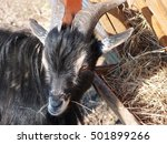 young domestic black goat... | Shutterstock . vector #501899266