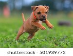 Stock photo staffordshire bull terrier puppy 501939772